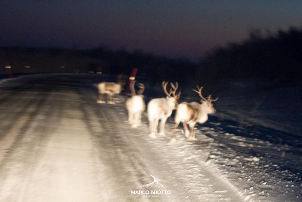 Renas na Laponia