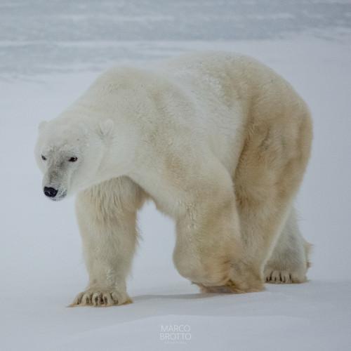 melhor-epoca-para-ver-aurora-boreal-urso-polar