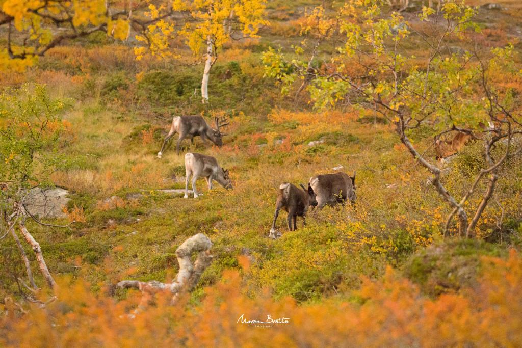 A vida selvagem da Laponia tambem encanta, no final do verão as folham começam a dourar e a flora se torna uma palheta incrivel de cores.
