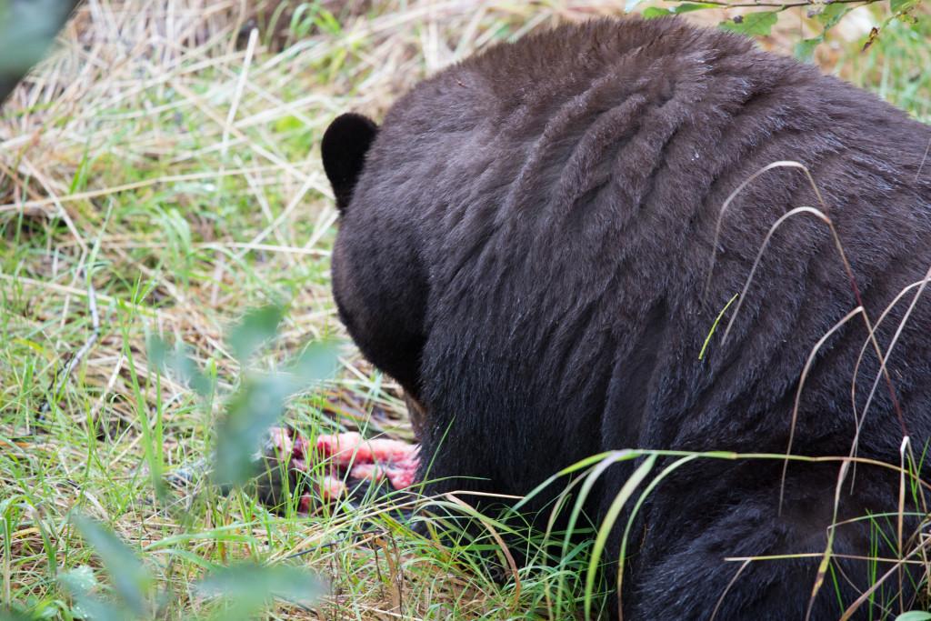 Vimos o urso pardo pegar um salmão no riacho e tranquilamente destroça-lo