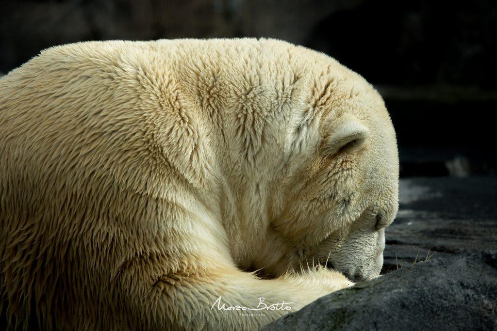 O potente, o predador, o fantástico Urso Polar.