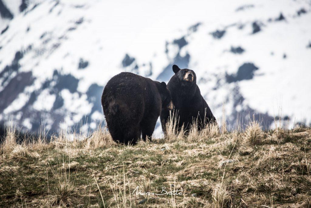 ursus-americanos-expedicao-aurora-boreal-no-alasca