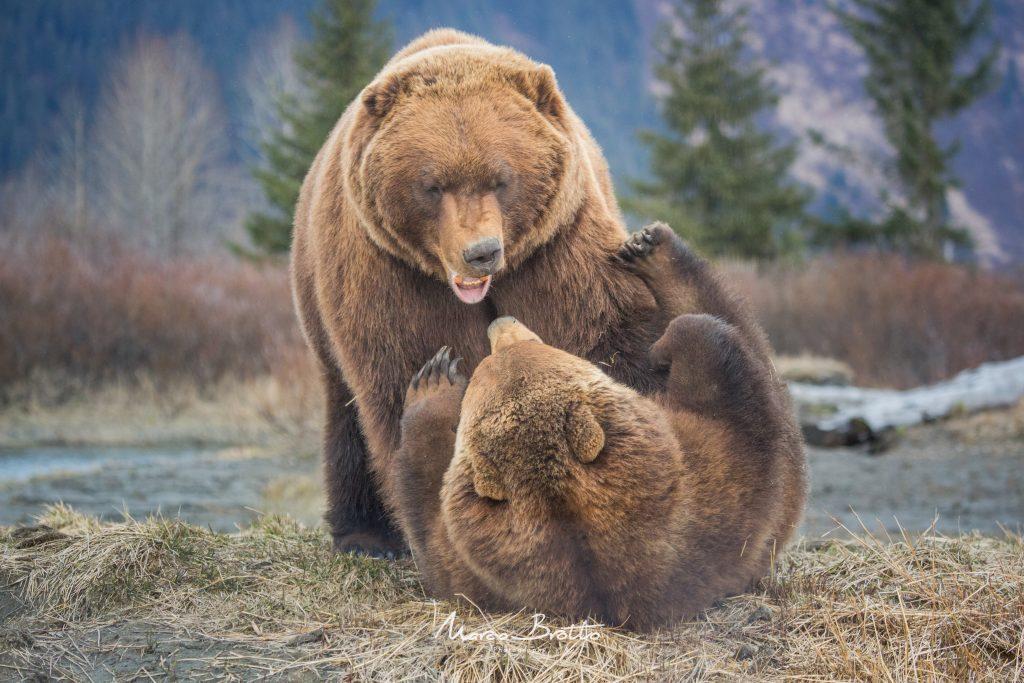 urso-marrom-quando-acontece-aurora-boreal-no-alasca