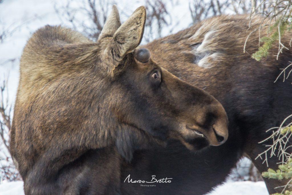 vida-selvagem-no-alasca