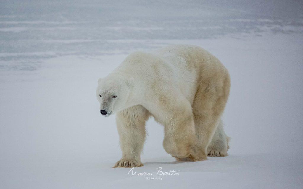 urso-polar-aurora-boreal-canada