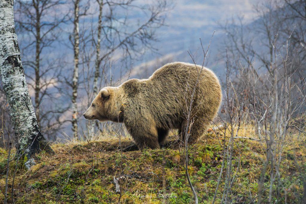noruega viagem animais tromso urso