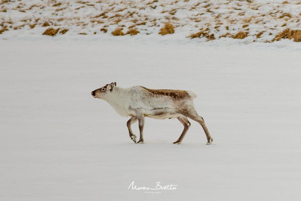 vida selvagem na groenlandia
