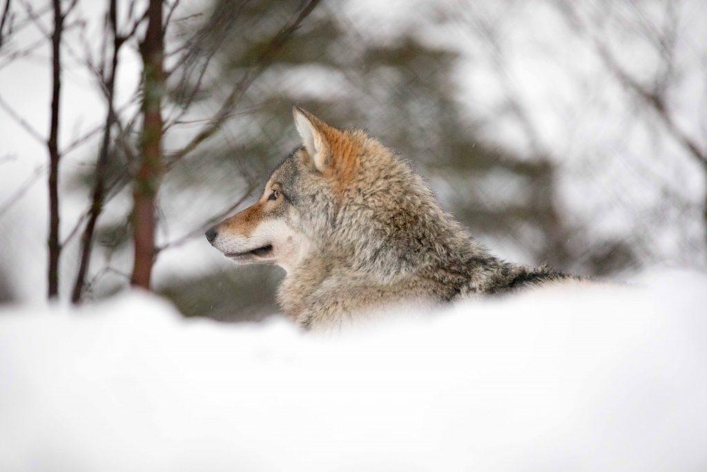 lobos noruega