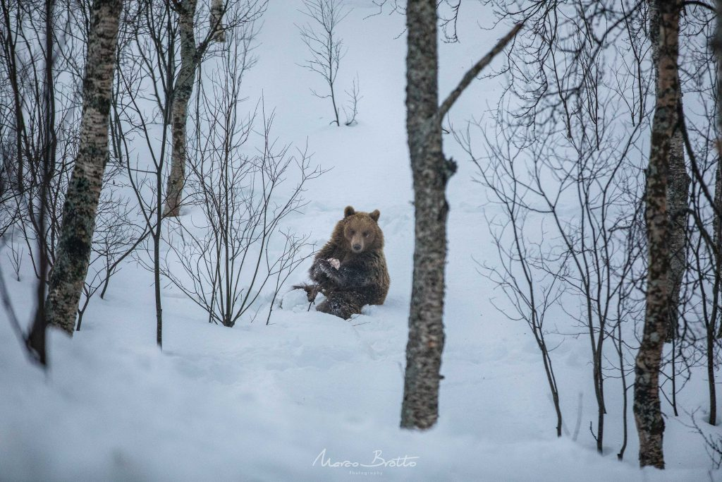 urso marrom noruega