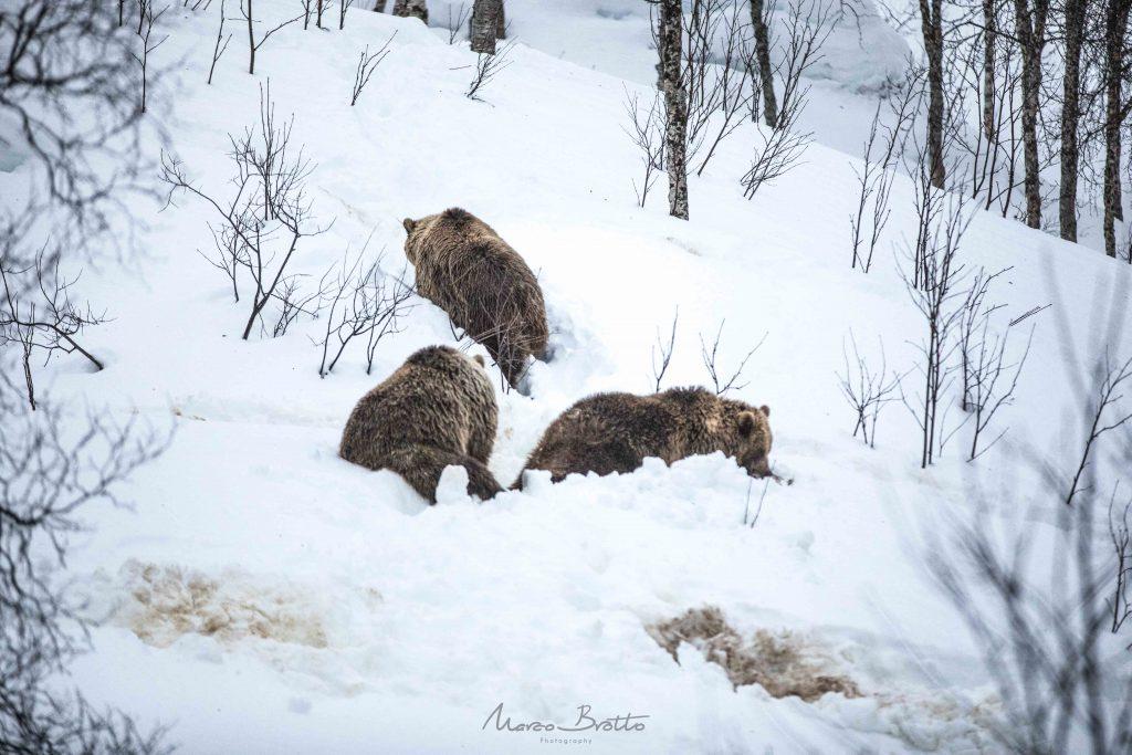 ursos na lapônia noruega