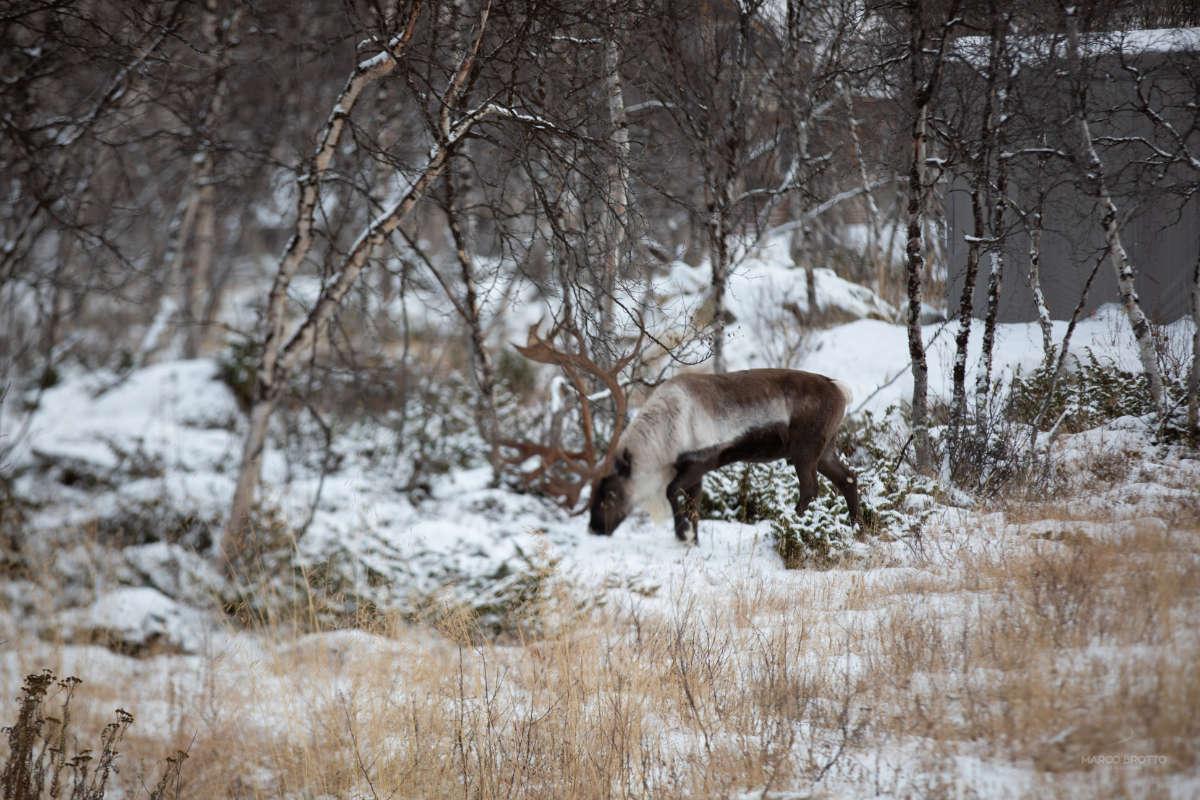 cervo na Lapônia