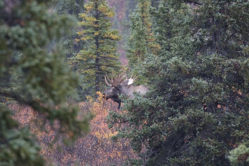 Moose na floresta